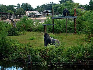 Gorillas im Gulf Breeze Zoo. © miss-britt