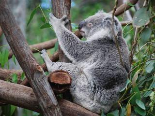 Koala © andrew.napier
