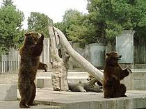 Braunbären im Zoo Madrid. © Manuel de Corselas