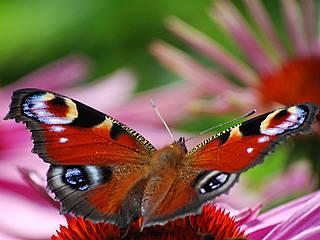 Schmetterling im Botanischen Garten Solingen. © madebybo
